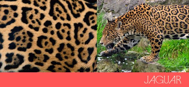 leopard and jaguar comparison - photo #14