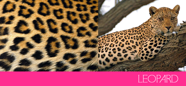 Lets Make Things Clear: Leopard Prints vs. Cheetah Prints - >> joeandcheryl.com <<