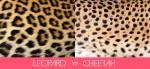 leopardvscheetah