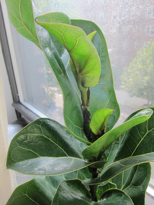 My New Baby: Fiddle Leaf Fig Tree - << joeandcheryl.com >>