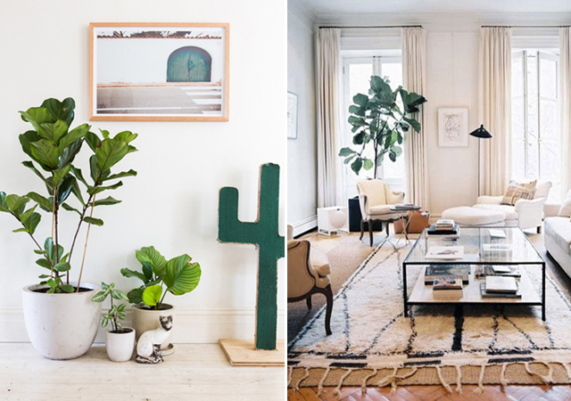 My New Baby: Fiddle Leaf Fig Tree « Joe & Cheryl
