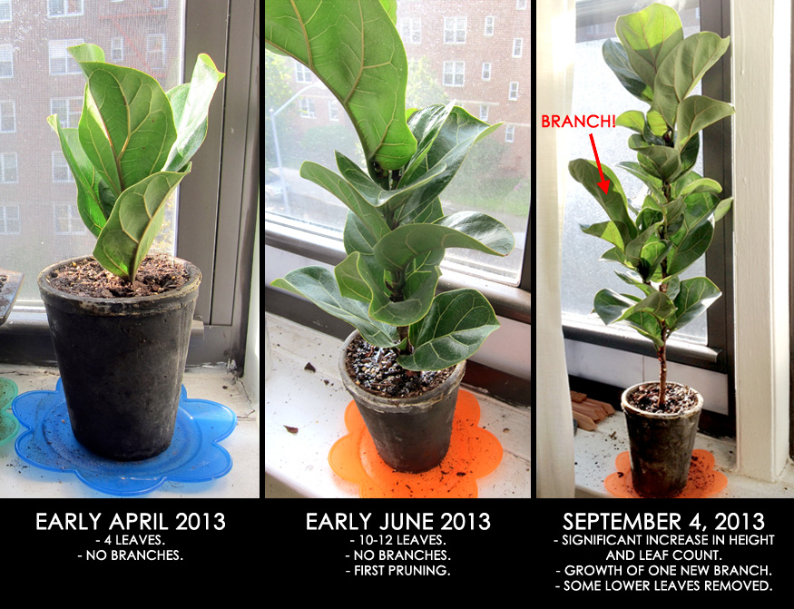 2013 fig tree growth