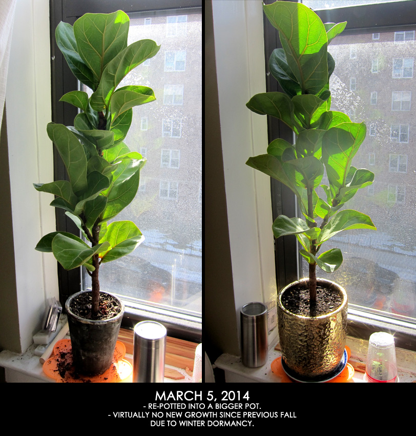 Fiddle Leaf Fig Update - >> joeandcheryl.com <<