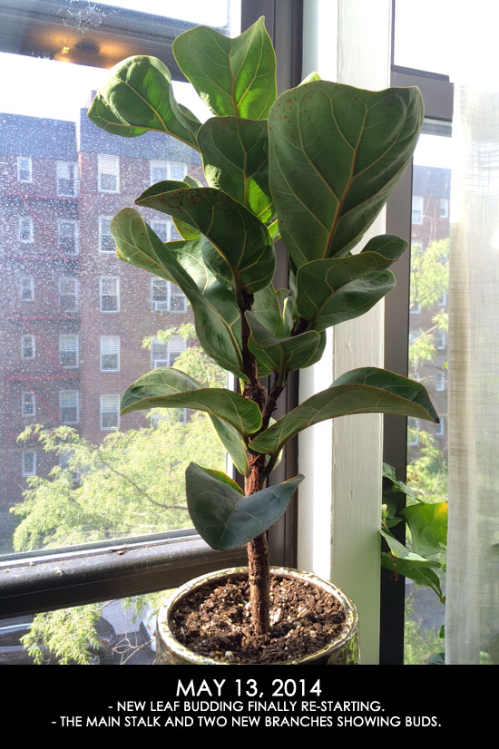 Fiddle Leaf Fig Update PART 3 - >> joeandcheryl.com <<